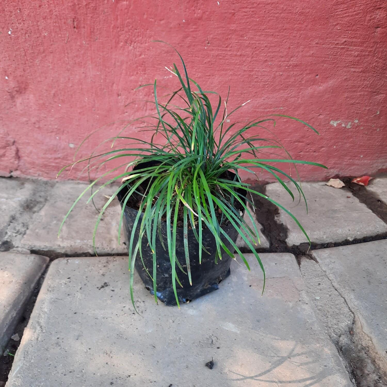 Mondo Grass 1L