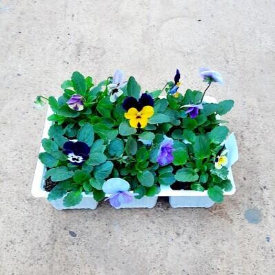 Viola Mix Seedlings 6 Pack