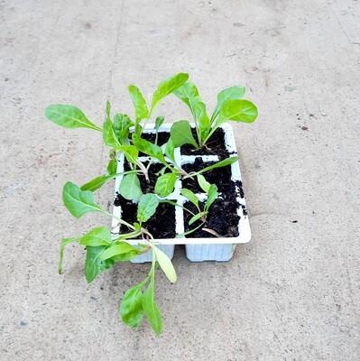 Spinach Ford Hook Giant 6 Pack Veg Seedlings