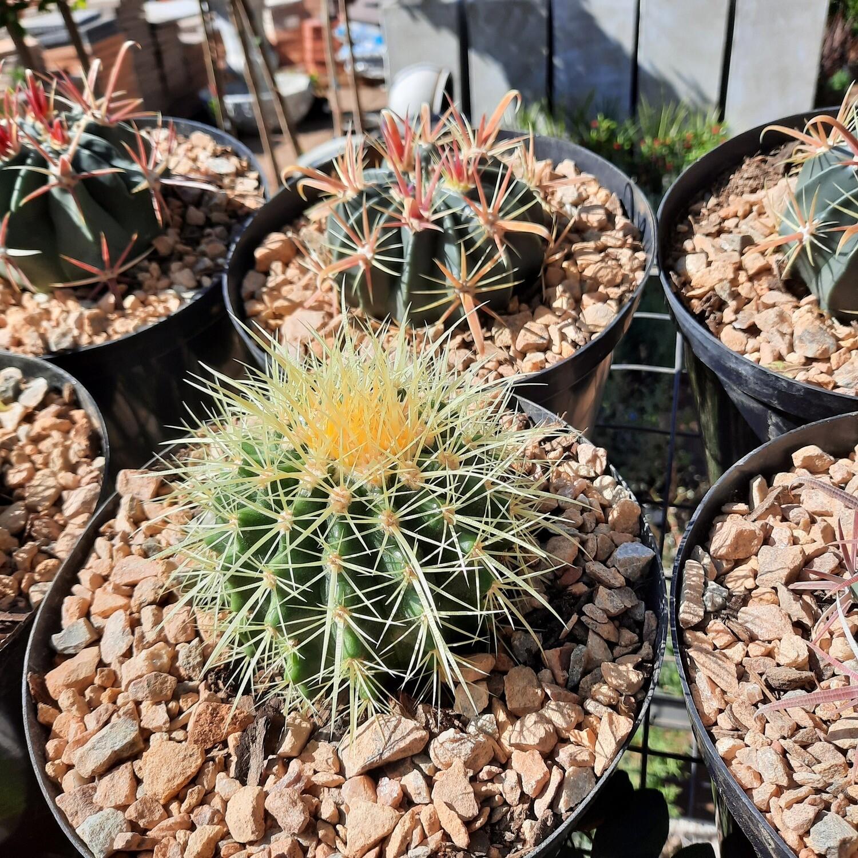 Cactus 20cm Mixed