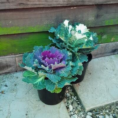 Ornamental Kale 15cm