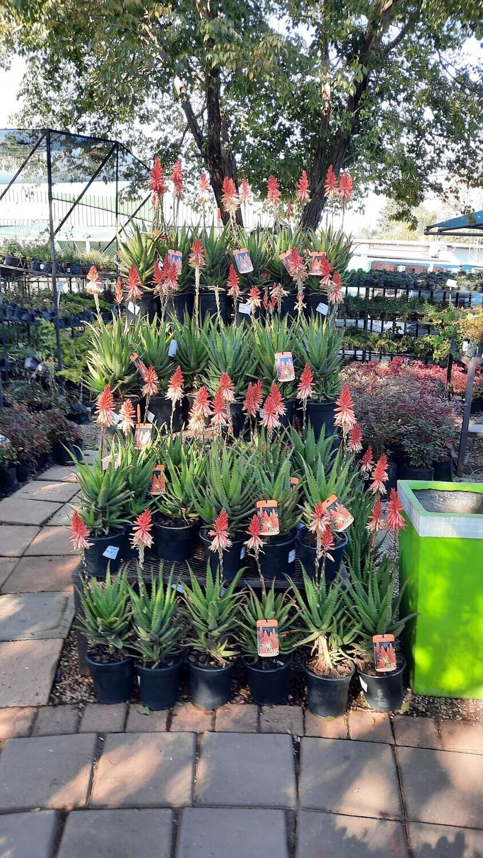 Aloe hybrid 'Bushwhacker' (PBR) 20cm