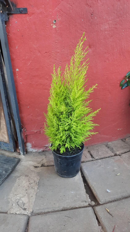 Cupressus Macrocarpa 'Wilma' Medium 19cm