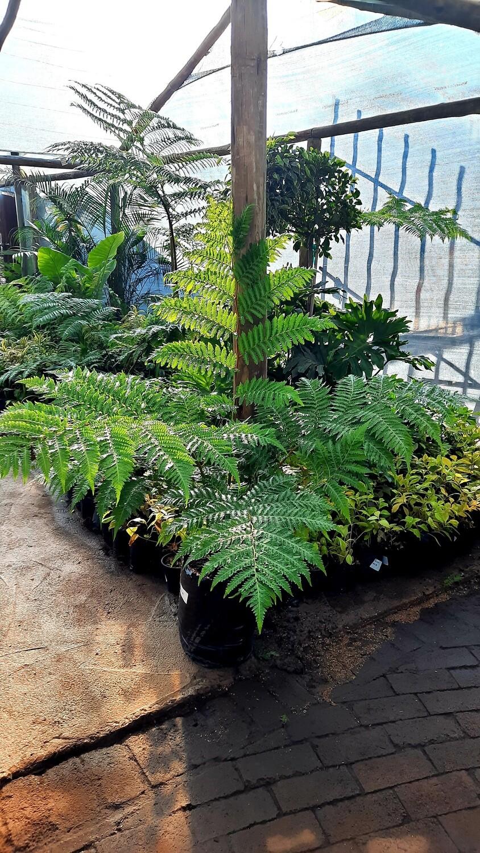 Cyathea Brownii Tree Fern 20 liter