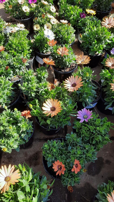 Osteospermum Mixed Colours 15cm