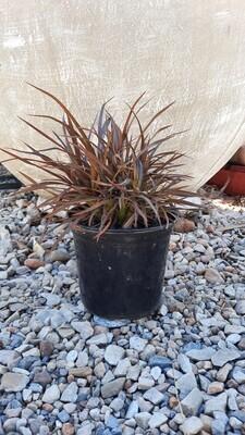 Phormium Sweet Mist 15cm Pot