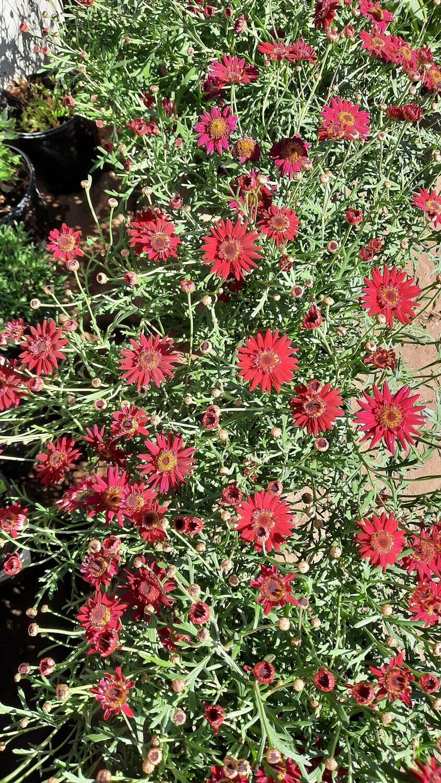 Argyranthemum Grand Daisy Merlot 17cm