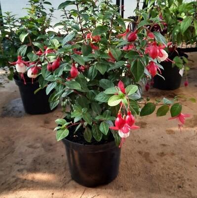 Fuchsia Bush 19cm Mixed Colours