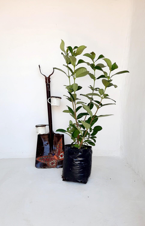 Viburnum Odoratissimum 10 liter bush