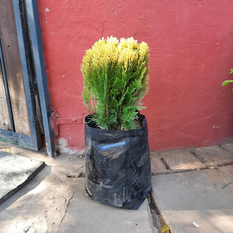 Platycladus orientalis 'Aurea Nana Compacta' 10 liter