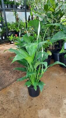 Spathiphyllum Peace Lily 14cm