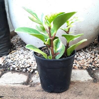 Peperomia USA 12cm