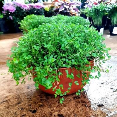 Peace Bowl (Baby Tears) 15cm - Soleirolia Soleirolii