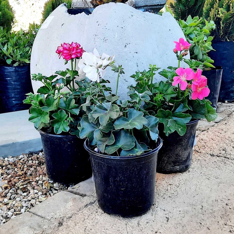 Geranium Pelargonium Peltatum Mixed Colours 15cm