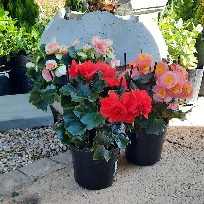 Begonia Elatior Mixed Colours 14cm