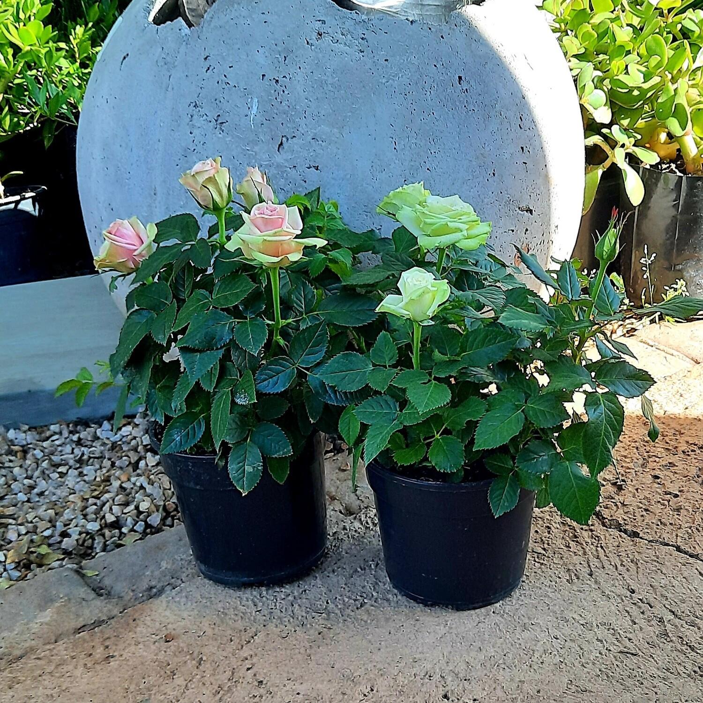 Rose Mixed Pink/Beige 14cm Pot