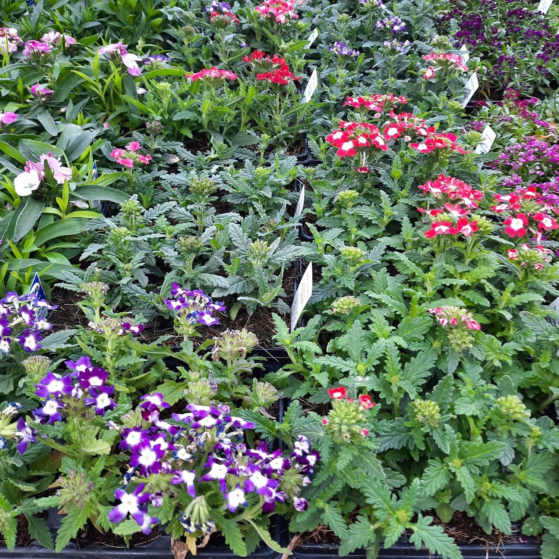 Verbena Mixed Colours Seedlings 6 Pack