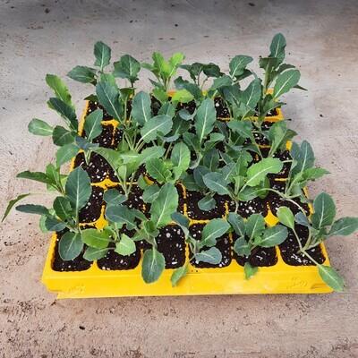 Cauliflower 30 Pack Veg Seedlings