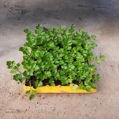 Celery 30 Pack Veg Seedlings