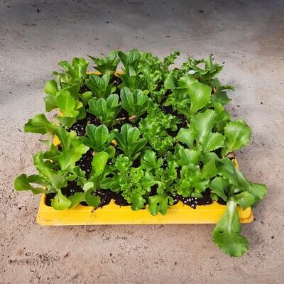Lettuce 30 Pack Veg Seedlings