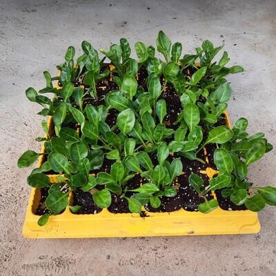 Spinach 30 Pack Veg Seedlings