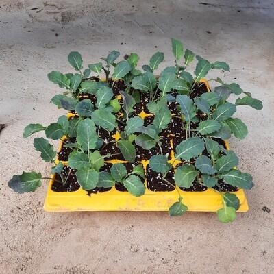 Broccoli 30 Pack Veg Seedlings