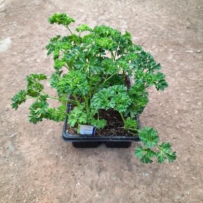 Parsley Moss Curled 6 Pack Herbs Seedlings