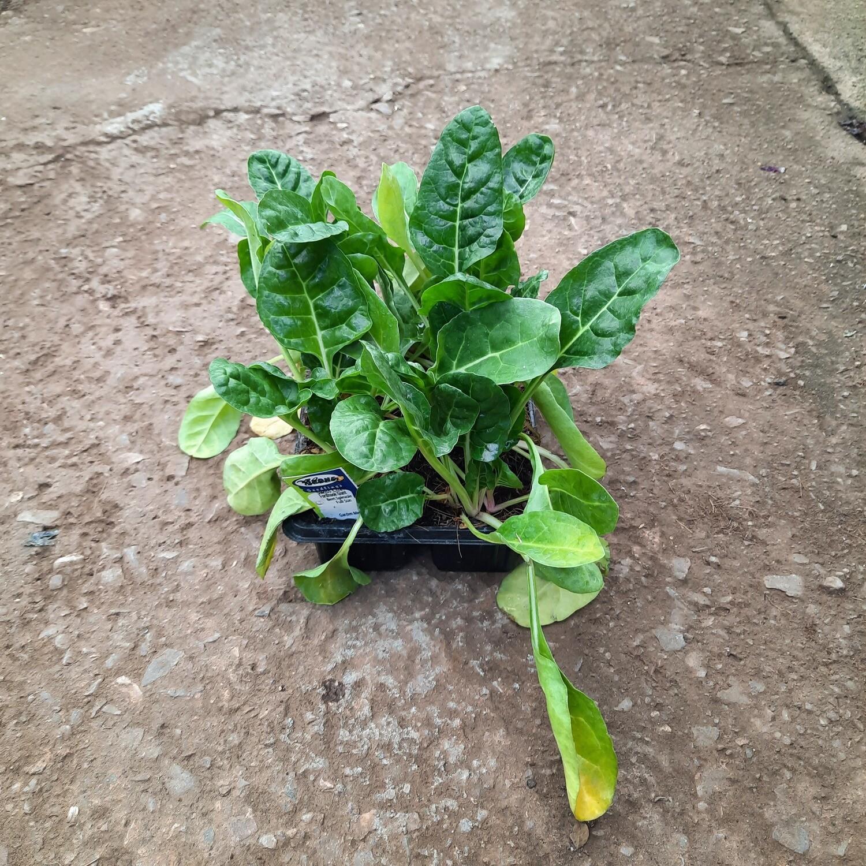 Spinach Swiss Chard Fordhook Giant 6 Pack Veg Seedlings