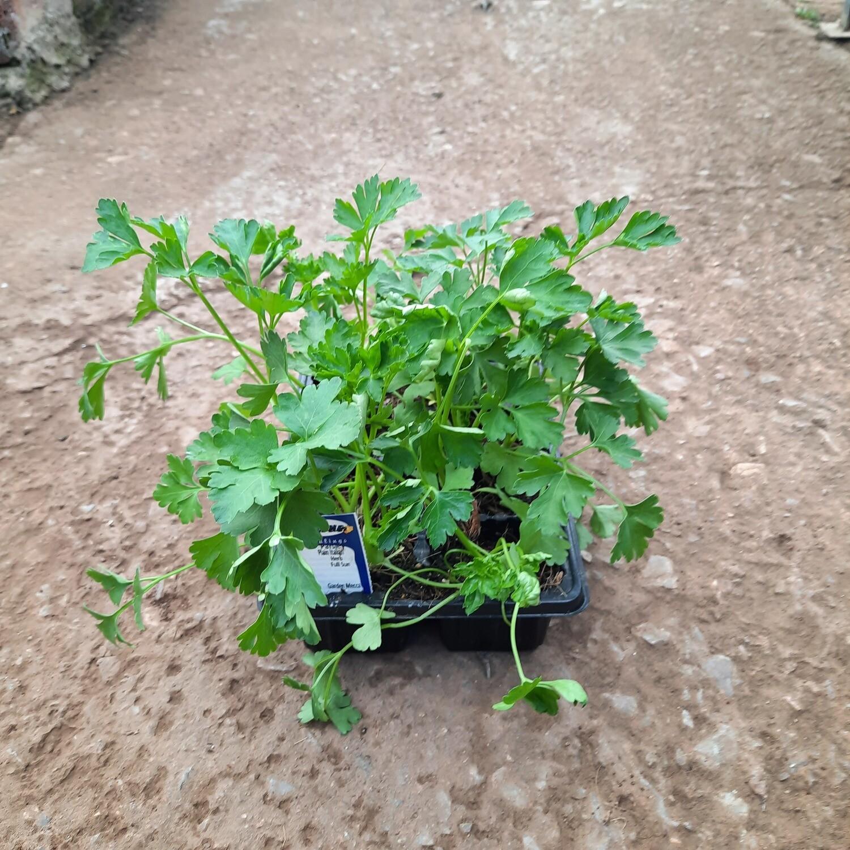 Parsley Flat Leaved Plain Italian 6 Pack Herb Seedlings
