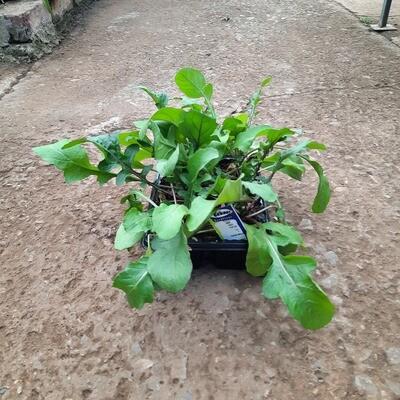 Rocket Salad 6 Pack Herb Seedlings