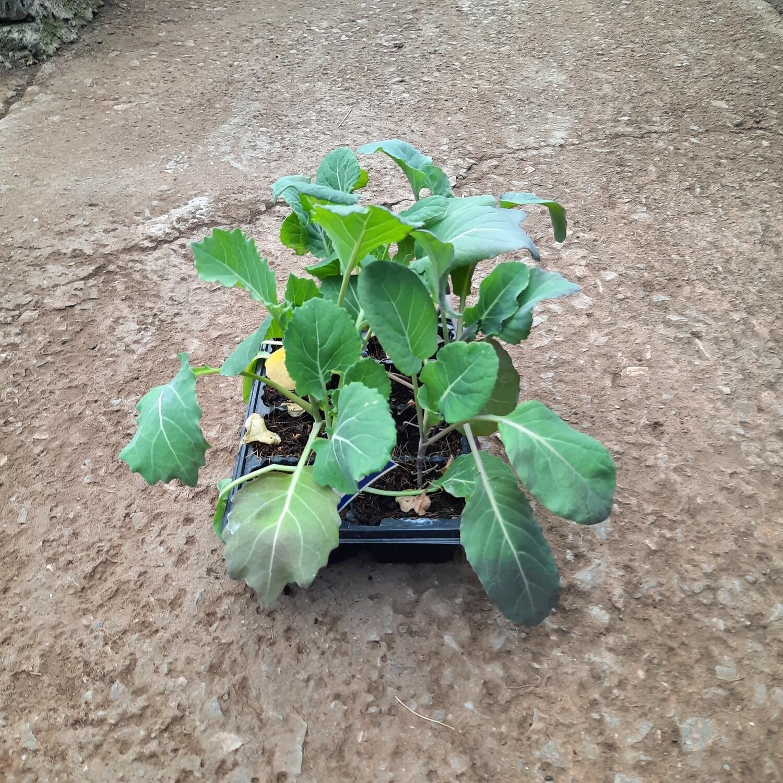 Brussel Sprout Spouts Long Island 6 Pack Veg Seedlings