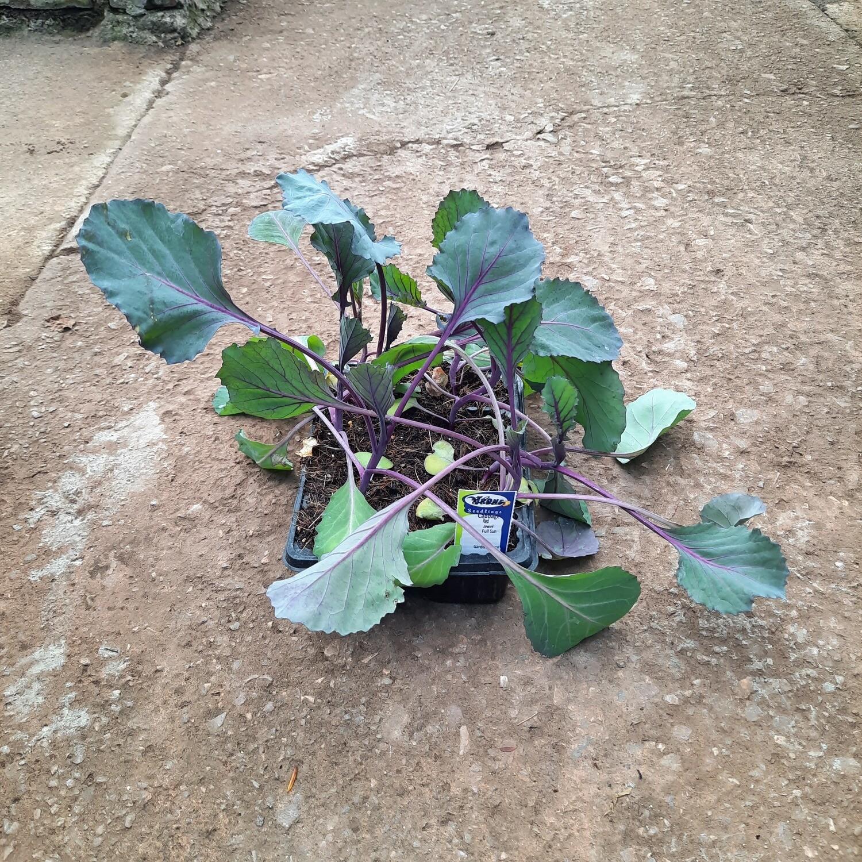 Cabbage Red Jewel 6 Pack Veg Seedlings