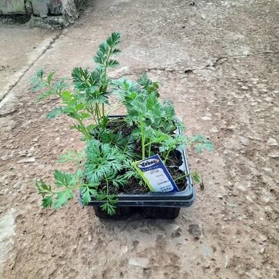 Carrot Little Finger 6 Pack Veg Seedlings