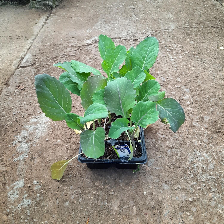 Borecole Kale Edible 6 Pack Veg Seedlings
