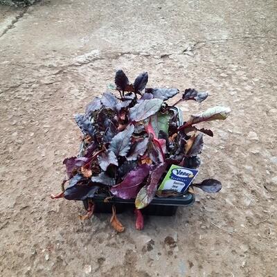 Beetroot Detroit Dark Red 6 Pack Veg Seedlings