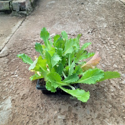 Chinese Cabbage Brassica 6 Pack Veg Seedlings