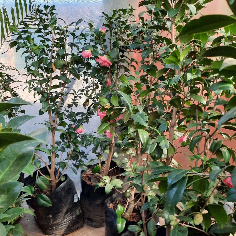 Camellia Japonica 10L Various Colours