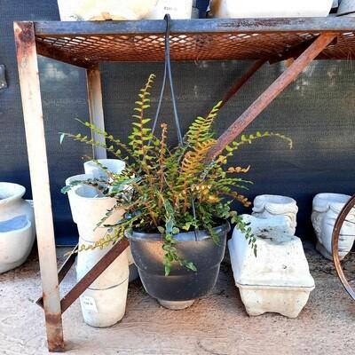 Pellaea Rotundifolia 20cm Hanging Basket