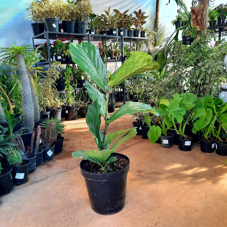 Ficus Lyrata 30cm Pot