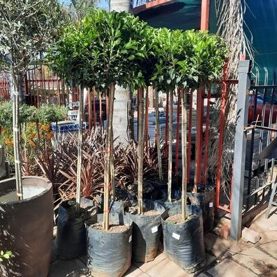 Ficus Ntida 40L