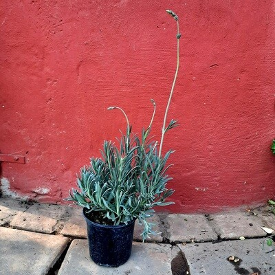 Lavender English Pots