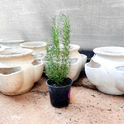Rosemary Pot