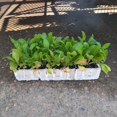 Chinese Cabbage 30 Pack Veg Seedlings