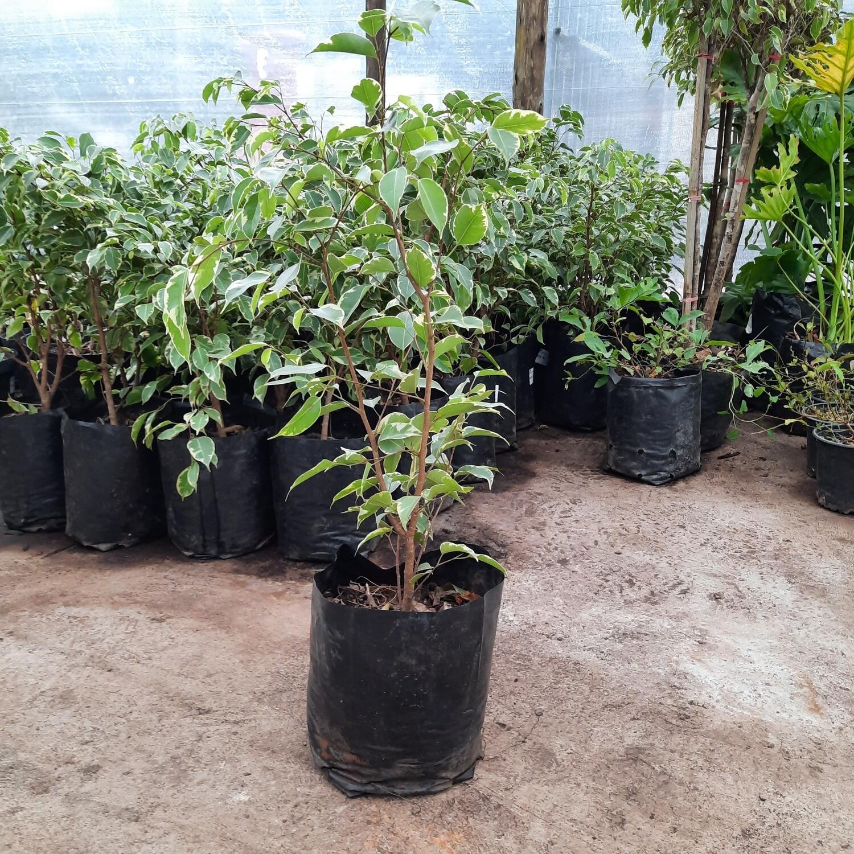 Ficus Golden King 10L
