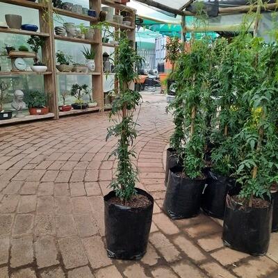 Jasminum Polyantherum 10kg