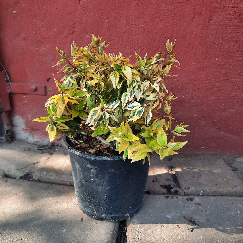 Abelia x Grandiflora Kaleidoscope TM var 17cm Pot