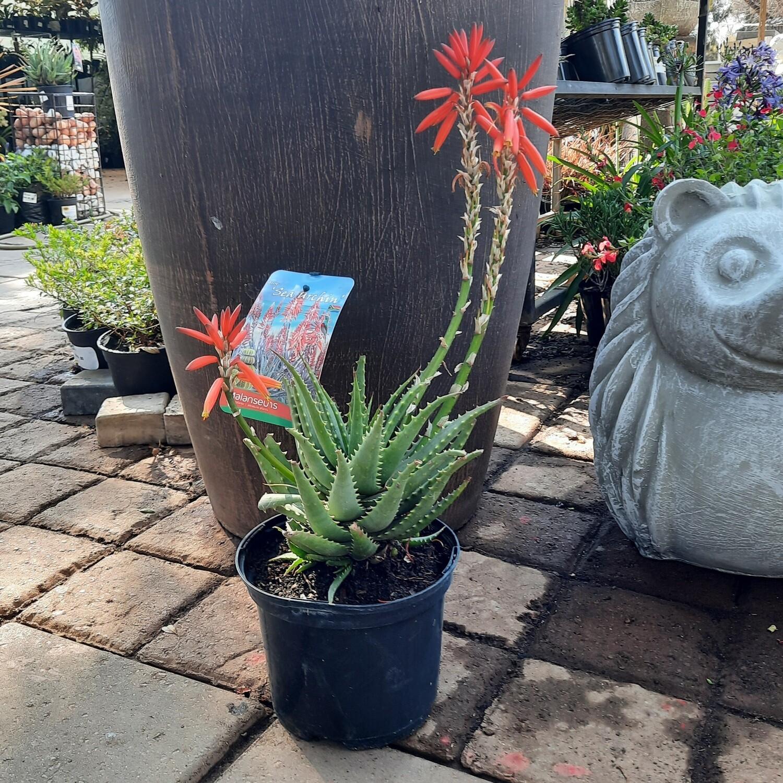 Aloe Sea Urchin TM Var 'ANDsea' PBR 17cm
