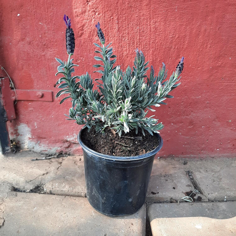 Lavandula Stoechas 'Hollard' 15cm Pot