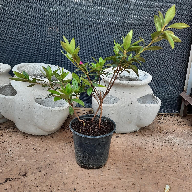 Rhododendron Indicum 'Magenta' 17cm Pot