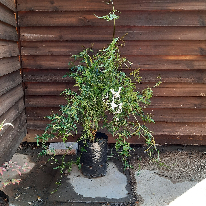 Jasminum Polyanthum 5L Staked